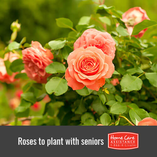 Low-Maintenance Roses to Plant with Seniors in Sacramento, CA